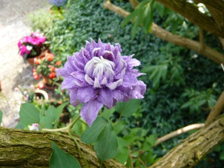 Ruth's clematis