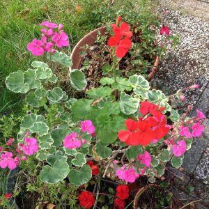 mutant geranium